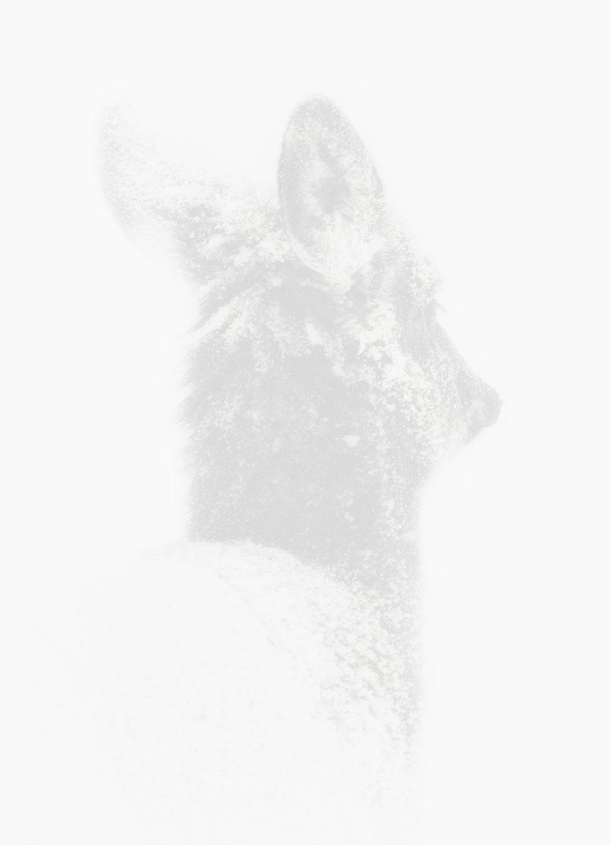 Tête chevreuil
